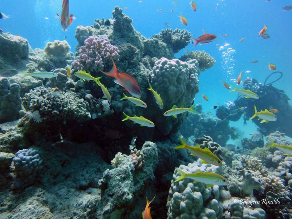 L'incontaminato reef di Marsa Egle (distretto di Marsa Alam) con triglie a pinna gialla, coralli duri e anthias rossi.