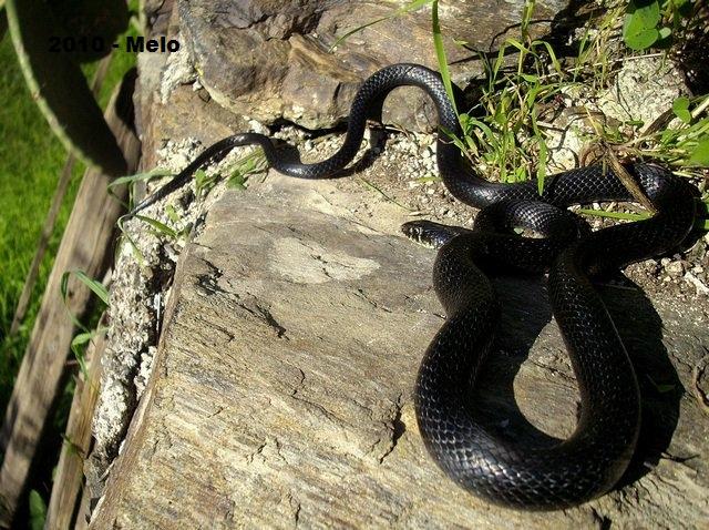 i serpenti italiani abc terra
