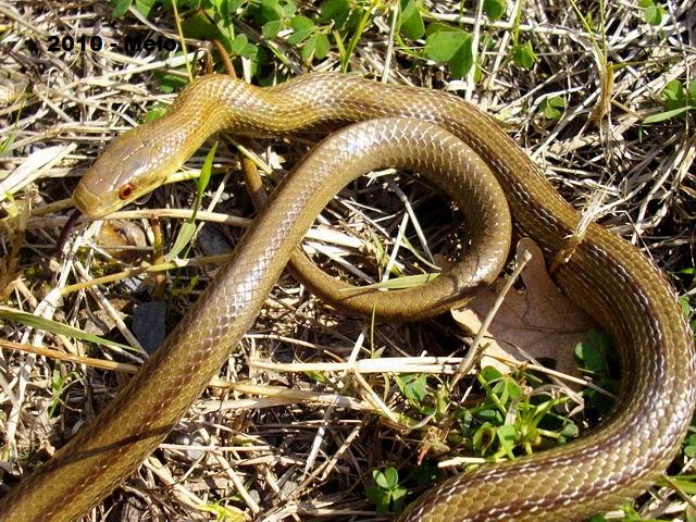 I serpenti italiani abc terra for Serpente cervone