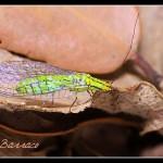 02_Hypochrysa elegans
