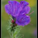 03_Echium plantaginetum