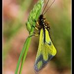 03_Libelloides coccajus