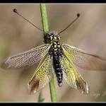 04_Libelloides siculus