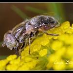 06_Eristalinus aeneus