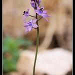 06_Scilla autumnalis