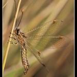 07_Deleproctophylla australis