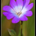 07_Silene coeli-rosa