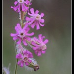 08_Silene gallica