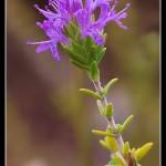 10_Thymus capitatus