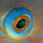 Occhio di blue-groper, esemplare a meta` della transizione sessuale, parte del corpo era ancora verde