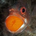 Cardinal fish mouth brooding