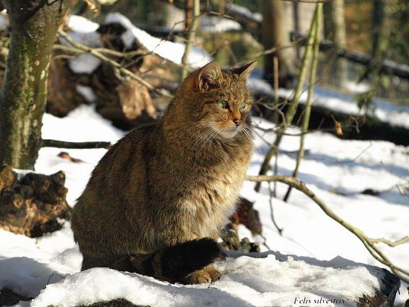 Due Piccoli Grandi Carnivori Italiani Lynx Lynx E Felis Silvestris