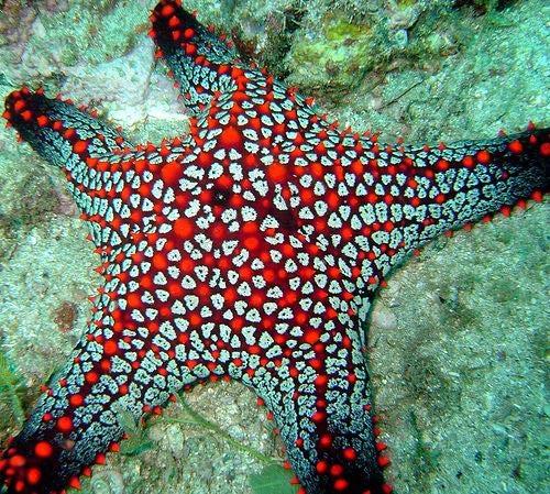 stelle marine : organismi da studiare | abc terra