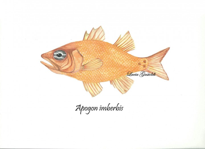 Apogon_LuciaGastoldi