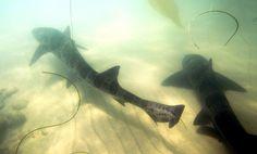 La Jalla Shores leopard shark